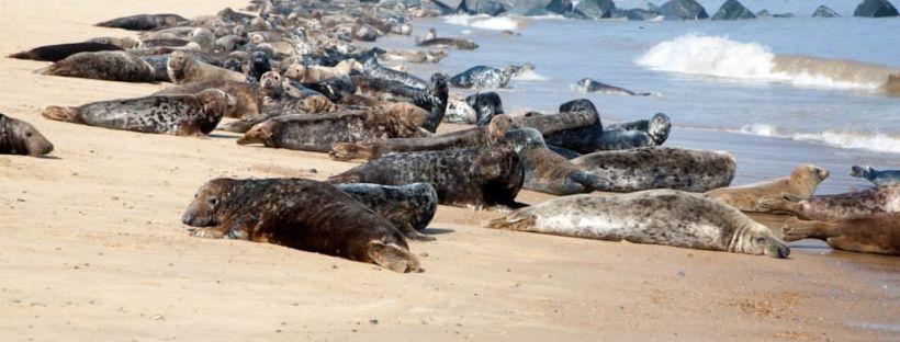 seals on the beach at waxham in norfolk