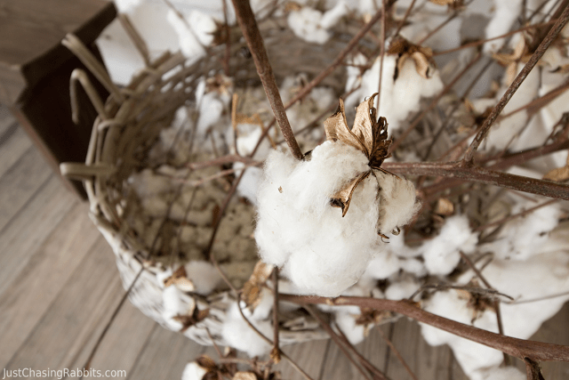 Frogmore Cotton Plantation Cotton bolls