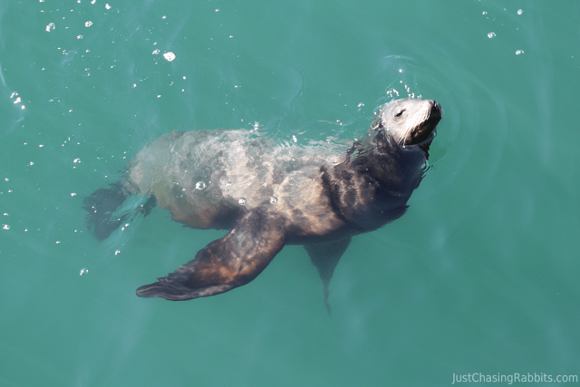 Sea Lion at the Santa Monica Pier
