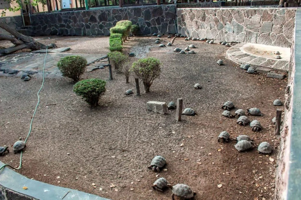 baby giant tortoises on Isla Isabela - it's free to visit them on the Galapagos
