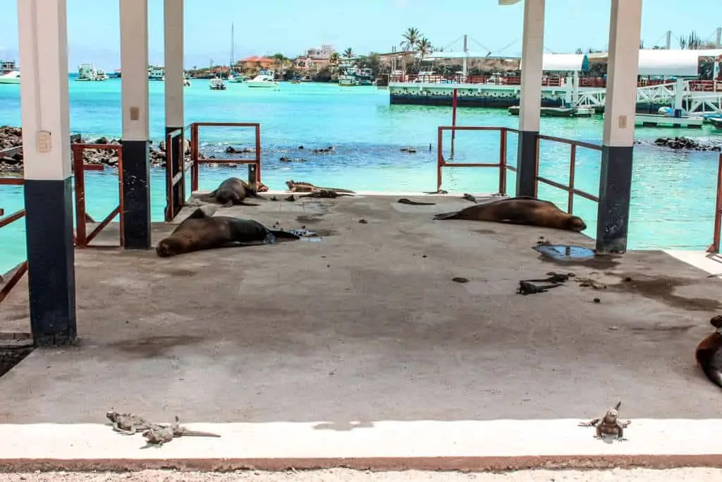 Sea lions and iguanas resting