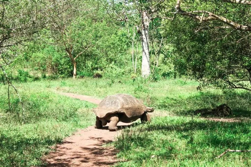 Walking Tortuga