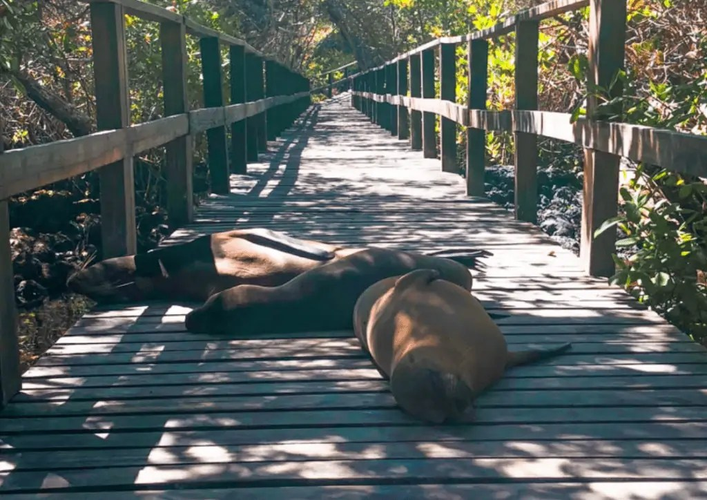 Sea Lions napping on the boardwalk