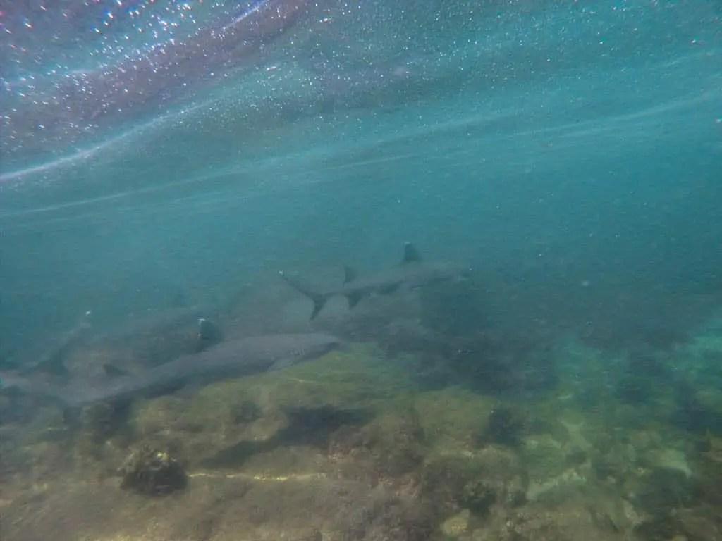 Galapagos White Tip Sharks