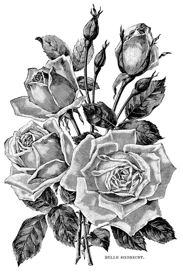 Illustration vintage roses Fleurs et v233g233tation