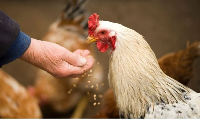 Antibiotic Alternative in Poultry