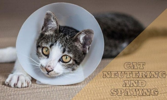 Cat Neutering and Spaying