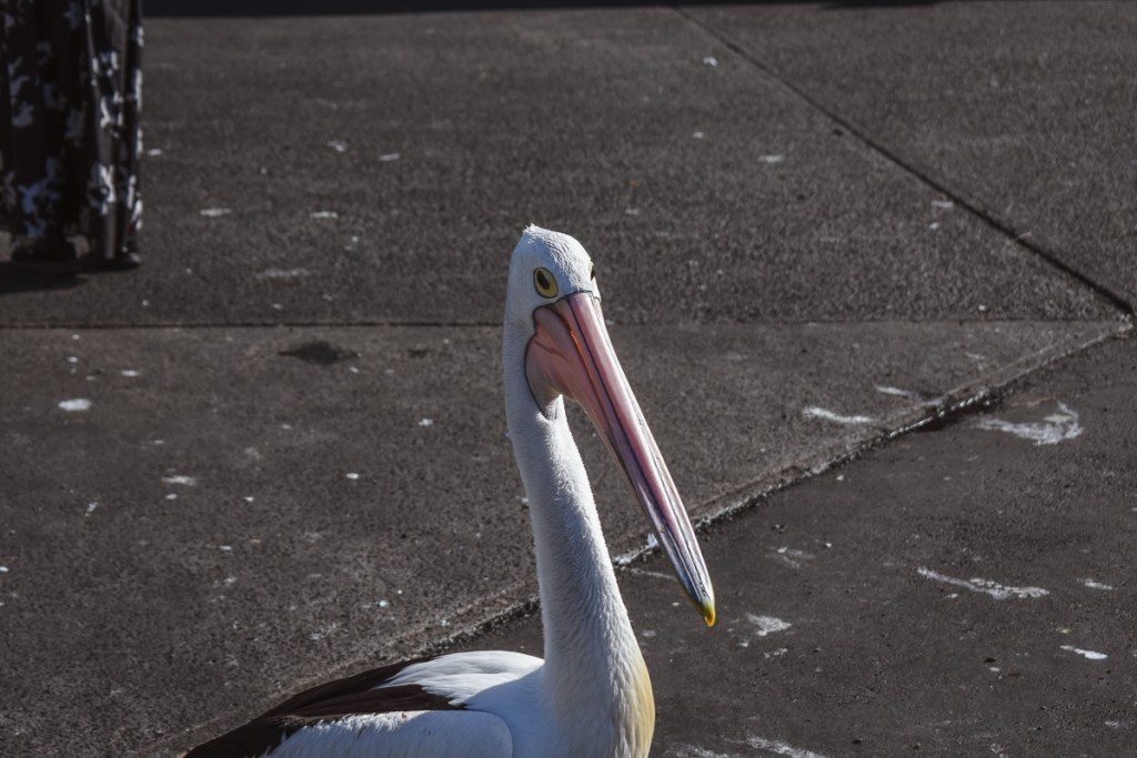 pelican close up face