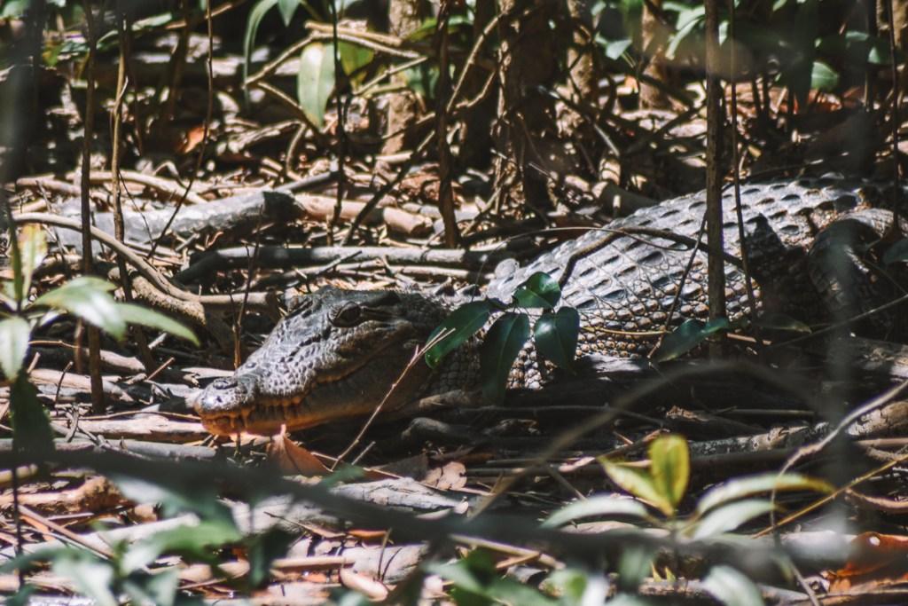 Crocodile Daintree river cruise centre