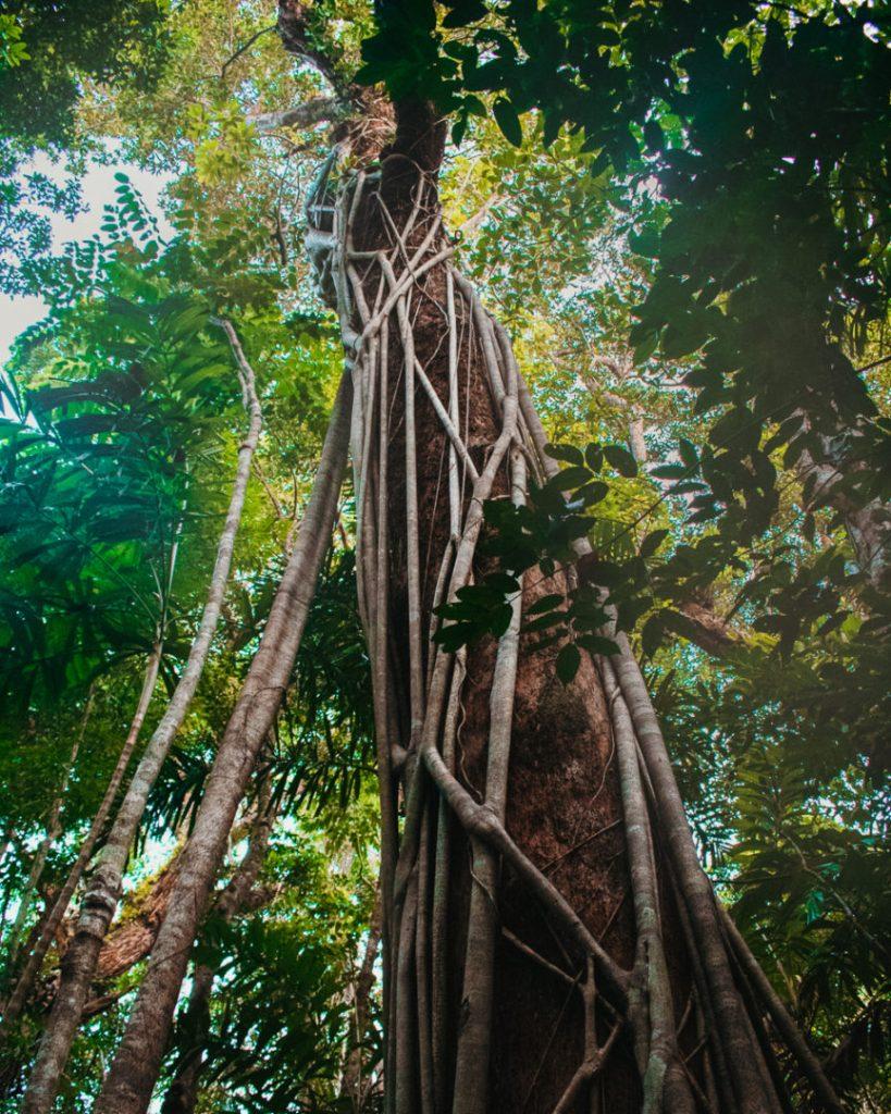 big tree at Marrdja boardwalk