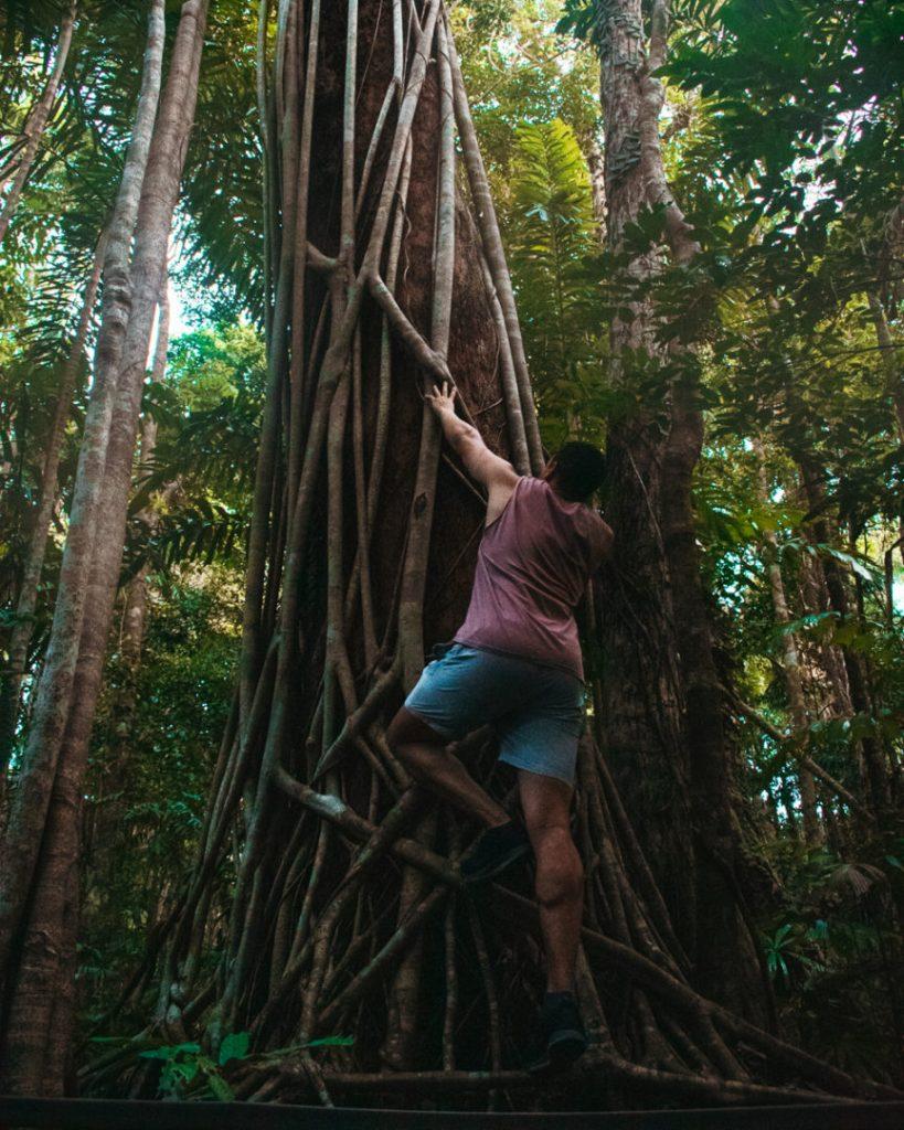 climbing big tree at Marrdja boardwalk
