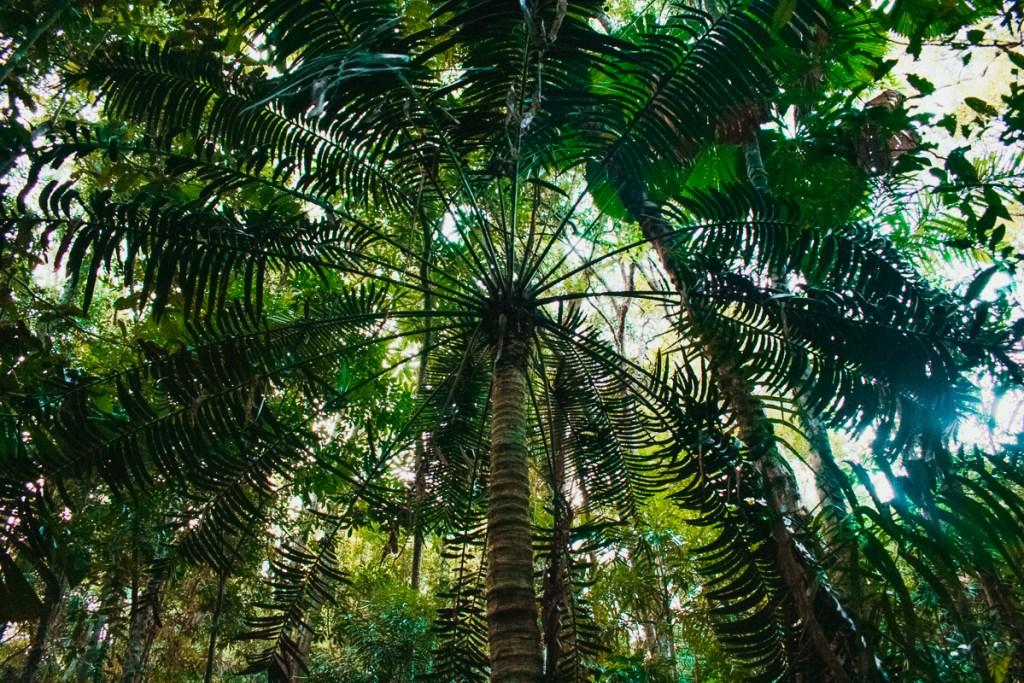 Marrdja botanical walk palm tree