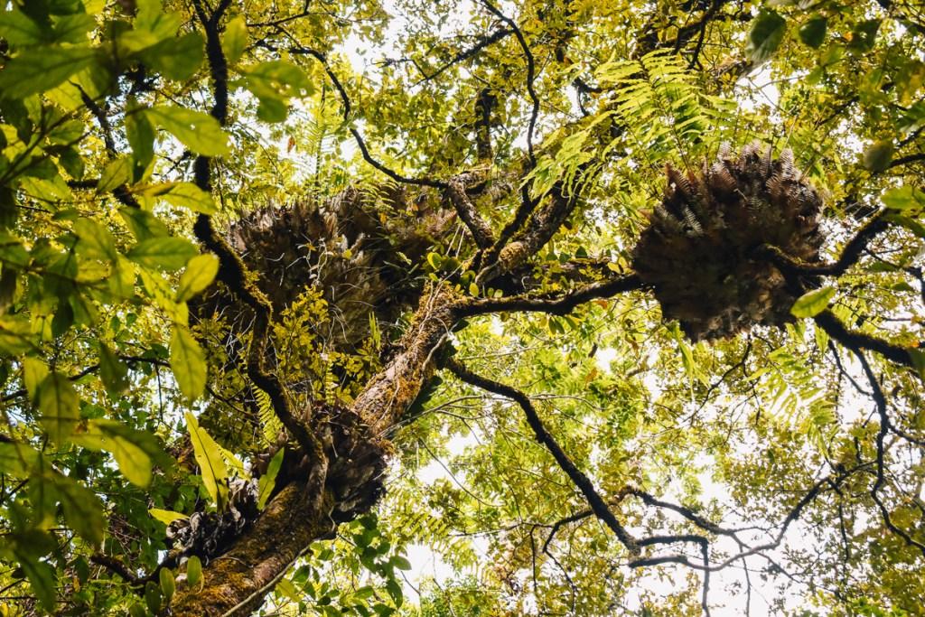 Mossman gorge trees