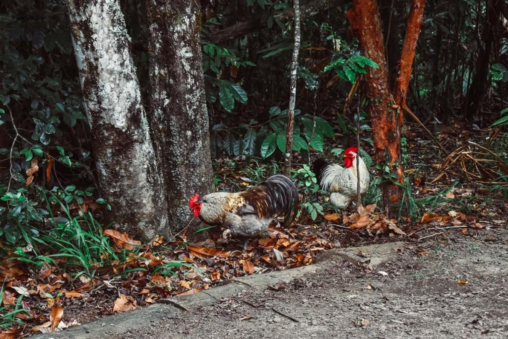 Ellinjaa Falls wild chicken roosters
