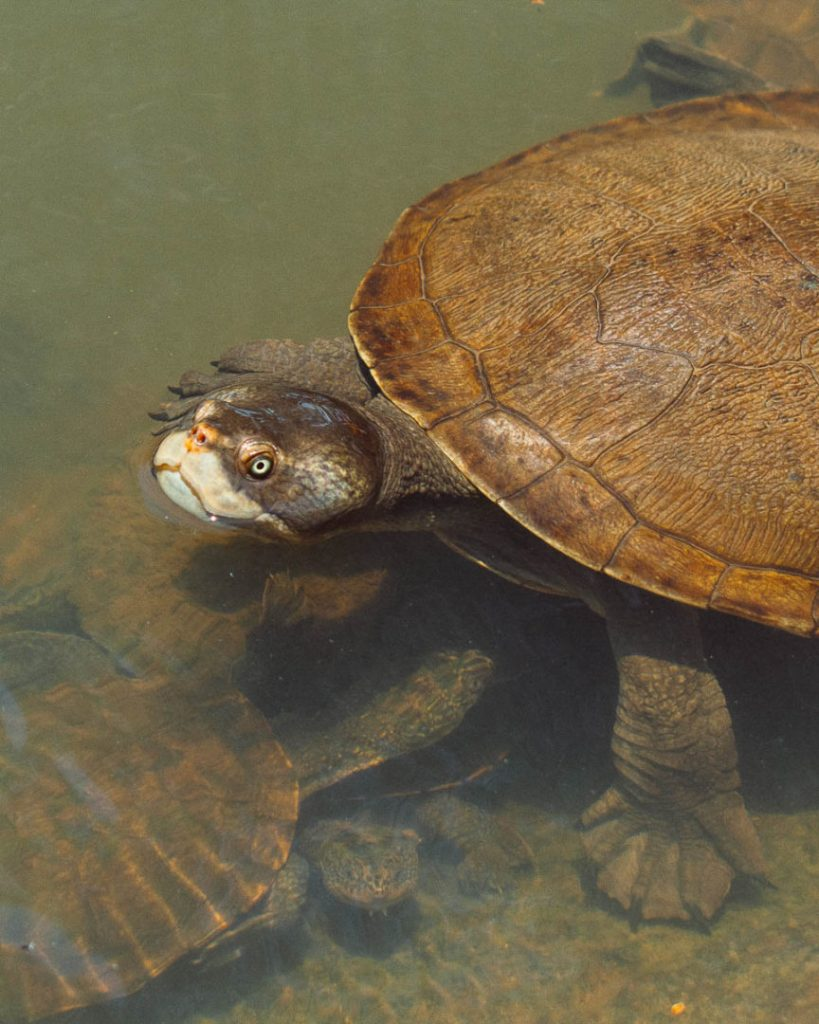 turtle with scary face in lake at granite gorge