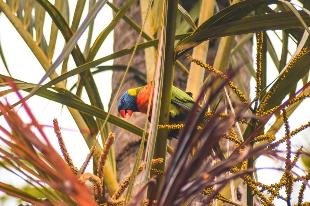 Parrot at Port Douglas