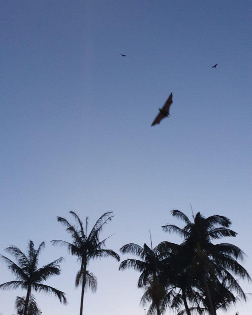 Bats in Cairns