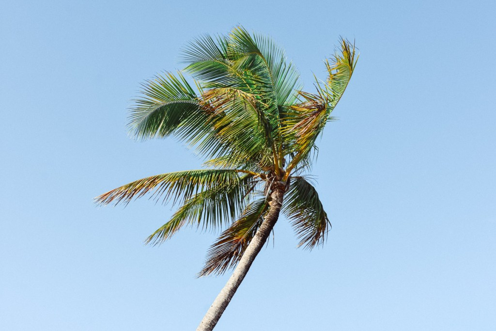 palm leaves blowing in the wind