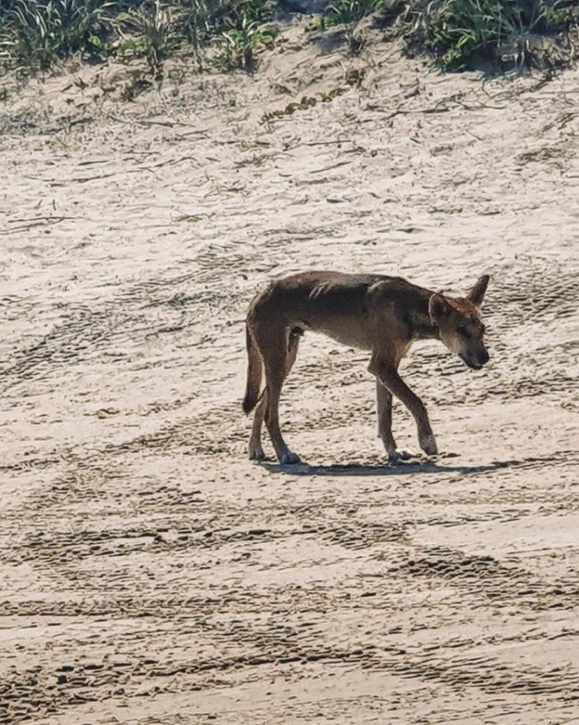 wild dingo fraser island