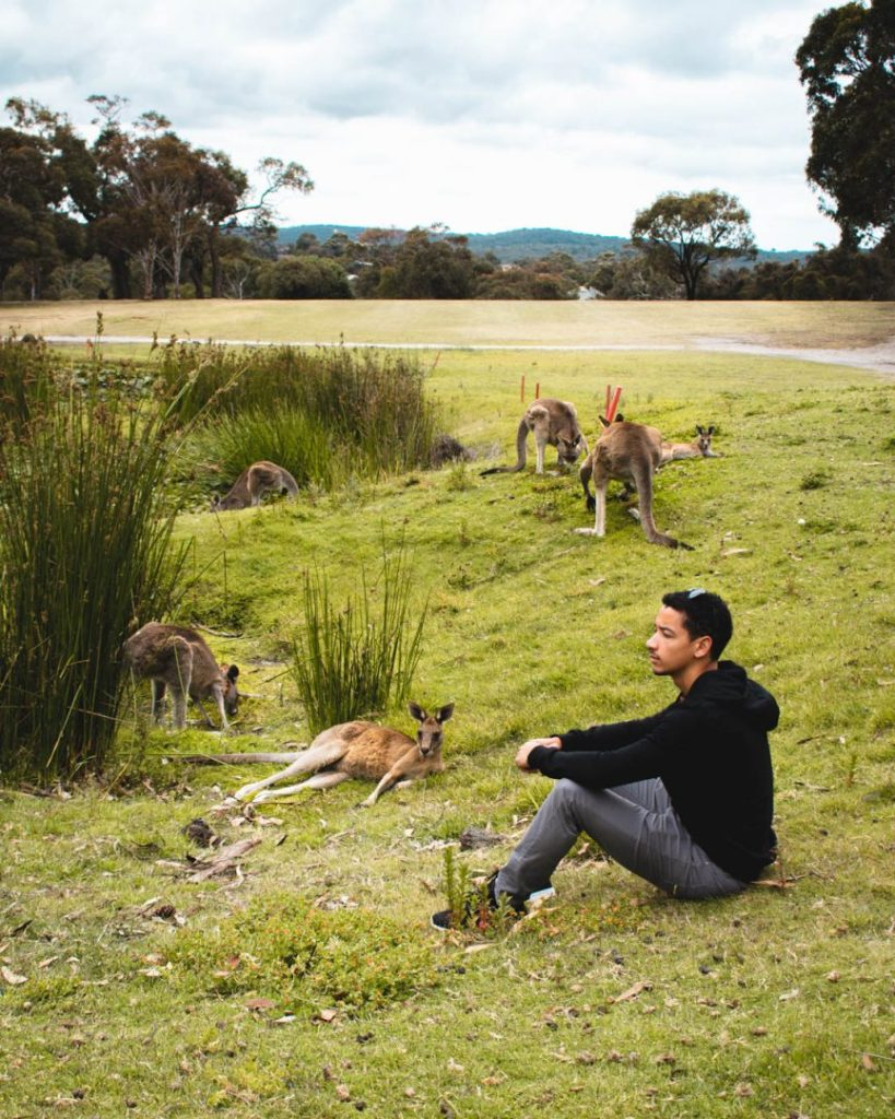 Chill with Kangaroos at Anglesea Golf Club