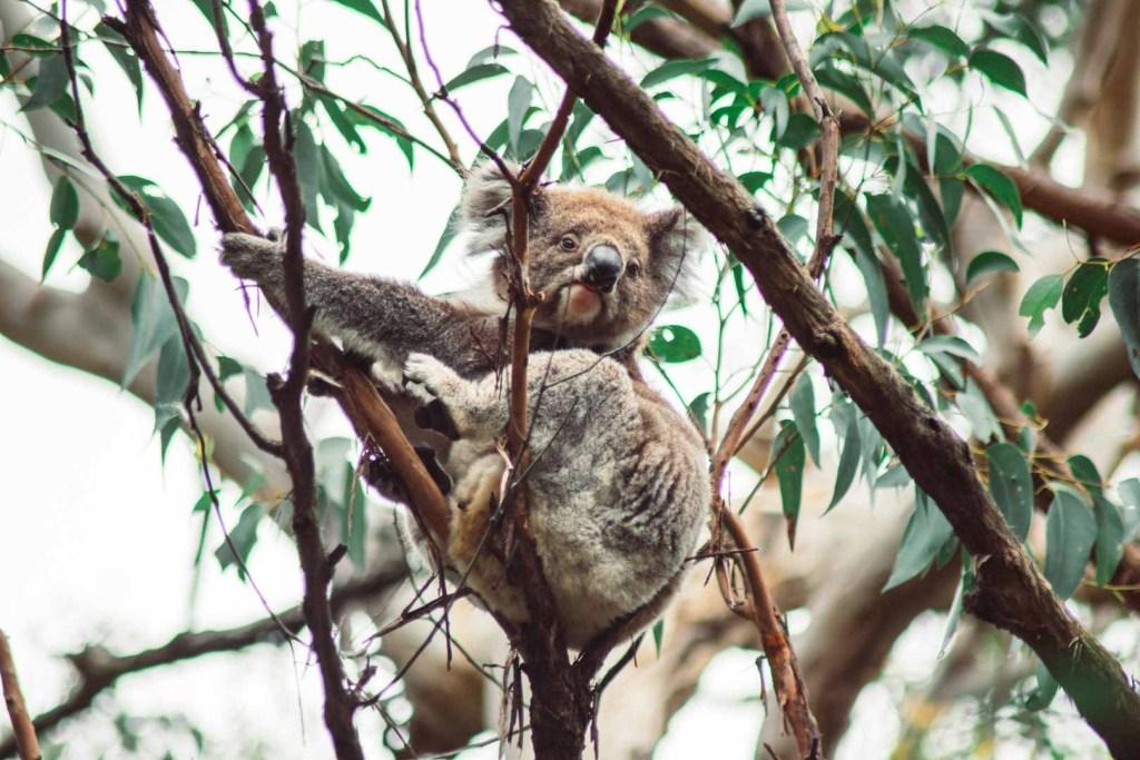 Koala spotting Great Otway National Park
