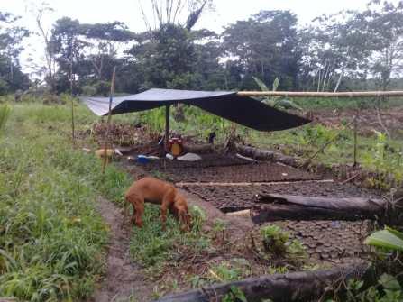 Imagen1 Cultivo de Cacao