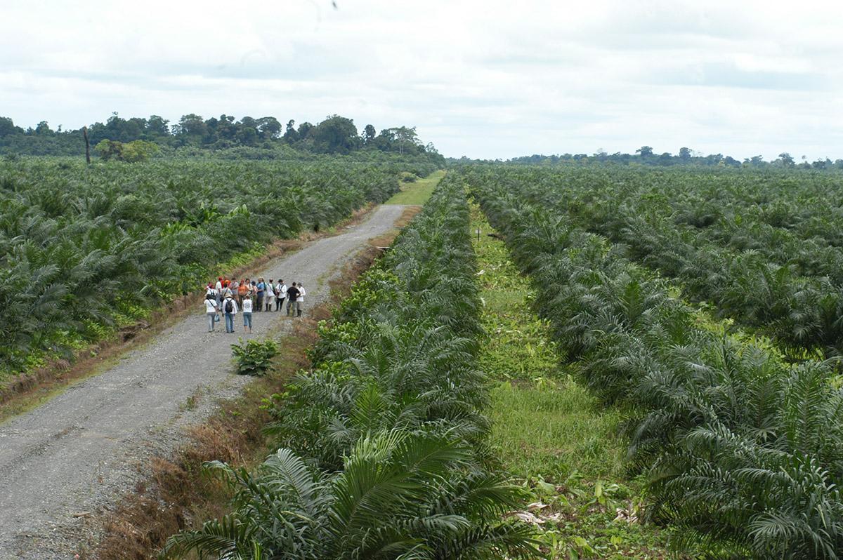 Cultivos de palma aceitera en Curbaradó - año 2002 / Simone Bruno