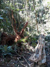 Afectaciones ambientales en operativo de erradicación forzosa.