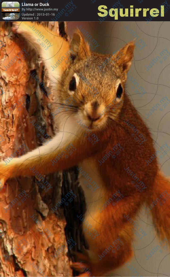 Llama or Duck Game Cheats - Squirrel