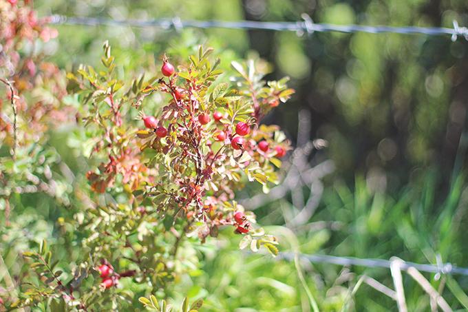 Foraged Prairie Wildflower Bouquet | Wild Rose Hips | Calgary, Alberta, Canada // JustineCelina.com