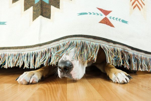 anxious dog hiding under bed