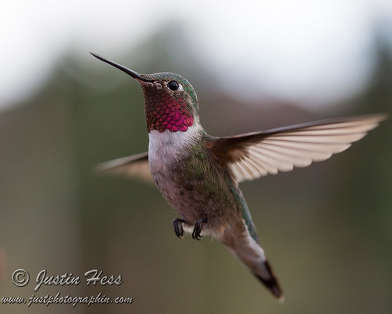 This male Broadtail Hummingbird looks like he is commanding attention in the frame.