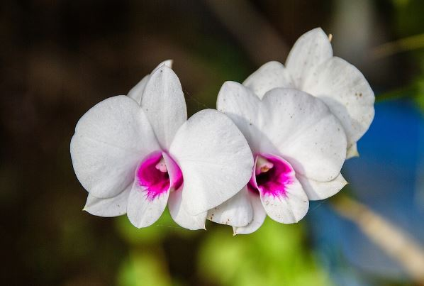 Orchid Flowers Picture