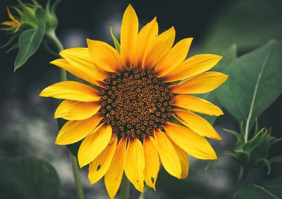 Sunflower Plant