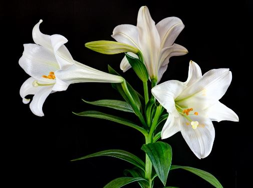 Lilies flower images