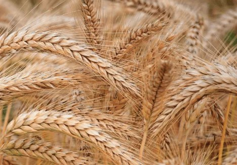 Wheat - Plants