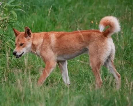 Dingo Animal