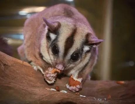 Sugar glider - Animal