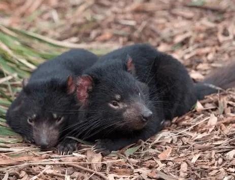 Tasmanian devil - Animal