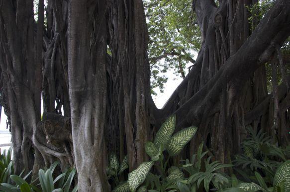 prachtige boom op de Malecón 2000