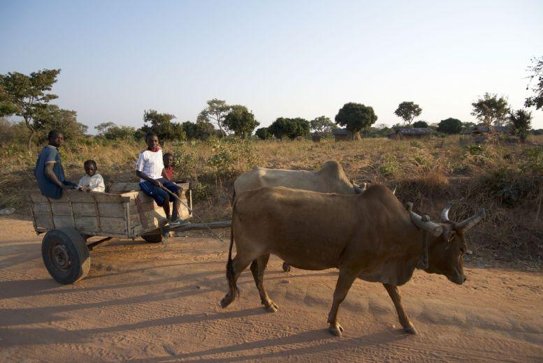 Een van de vele koeienwagens