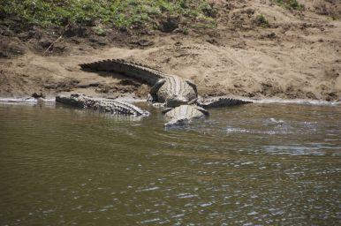 Ranger en gids maakten zich niet druk om de krokodillen, maar wel om een olifanten bul die zich op onze geplande route bevond... dan maar een andere kant op