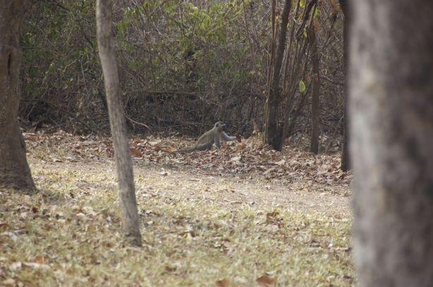 vervet monkey bij Woodlands lodge Lilongwe Malawi