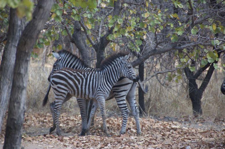 Zebra's kijken vanuit het restaurant