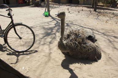 Evelyn de struisvogel komt er gezellig bijzitten