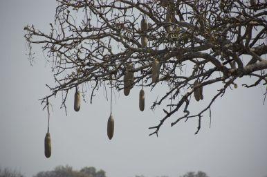 Sausage tree / worstenboom