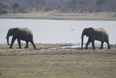 twee van de olifanten gaan van de ene naar de andre groep