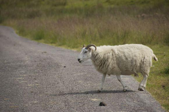 Soms denk ik wel eens dat schapen onze meest voorkomende mede-weggebruikers zijn.