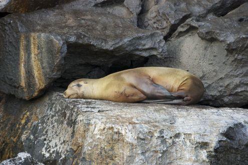 Galapagos sea lion, Genovesa Island