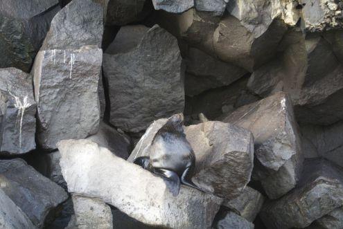 Galapagoa fur seal Genovesa Island